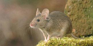 Czym karmić myszy?